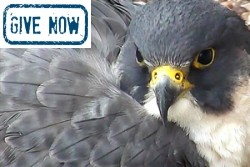 Give now to Birds of prey conservation